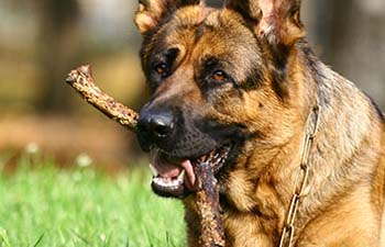 dog chewing on stick